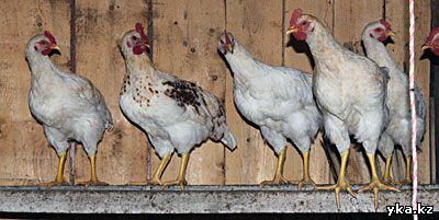 Курицы и Восточного Казахстана
