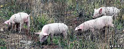 Сельское хозяйство в Восточном Казахстане, свиноводство, поросята
