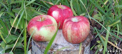 Проект возраждения яблоневых садов в Казахстане